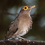 Bare Eyed Thrush, Trinidad