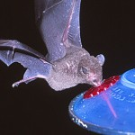 Fruit Bat and sugar water feeder, Trinidad