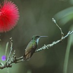 Copper Rumped Hummingbird, Trinidad