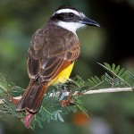The Great Kiskadee is the largest of the flycatchers.